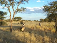 Zebras in der Kalahari